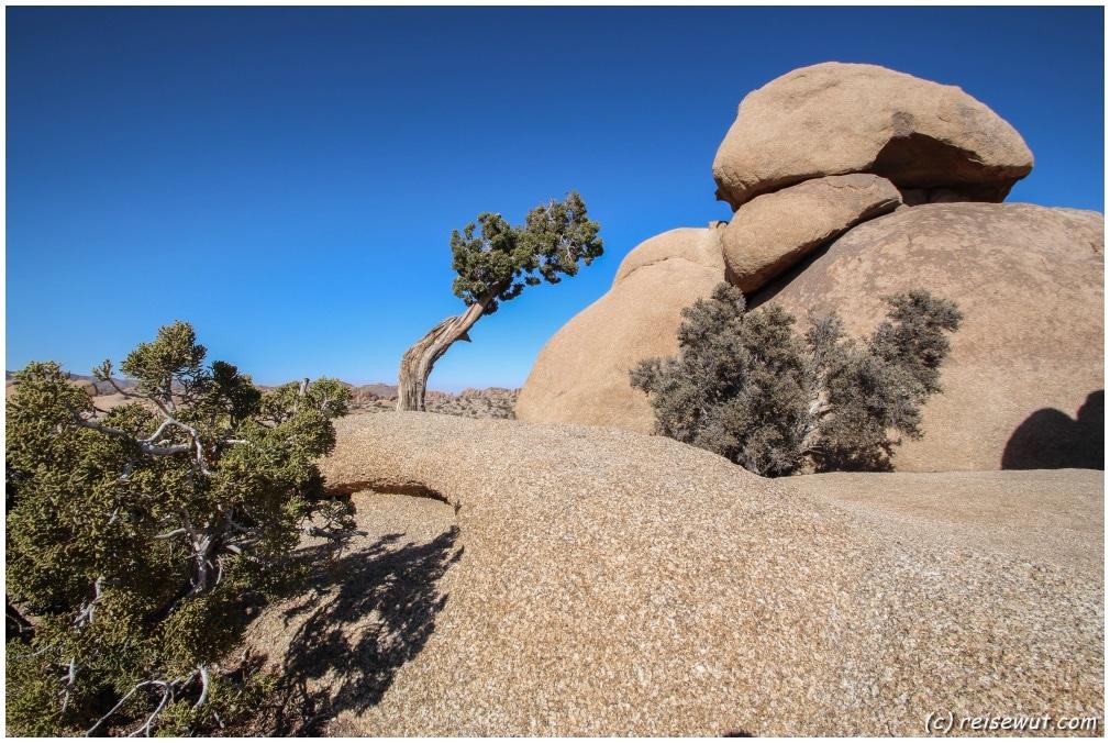"""Der """"Leaning Tree"""" bei der Jumbo Rocks Area"""