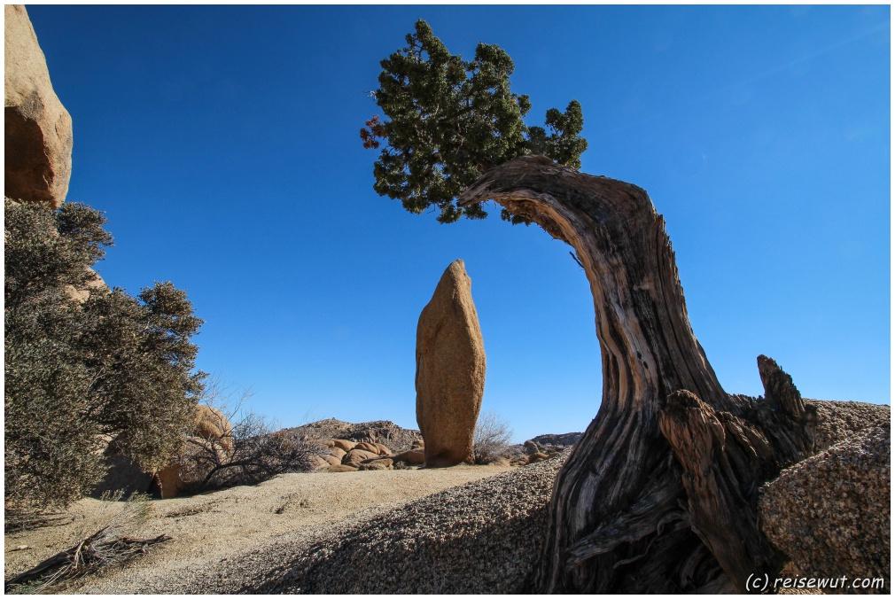 """Der """"Leaning Tree"""" bei der Jumbo Rocks Area von der anderen Seite"""