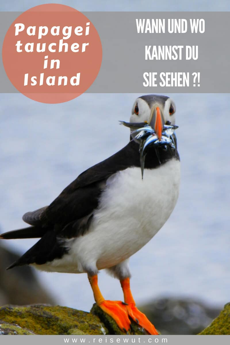 Pinterest Pin | Papageitaucher in Island