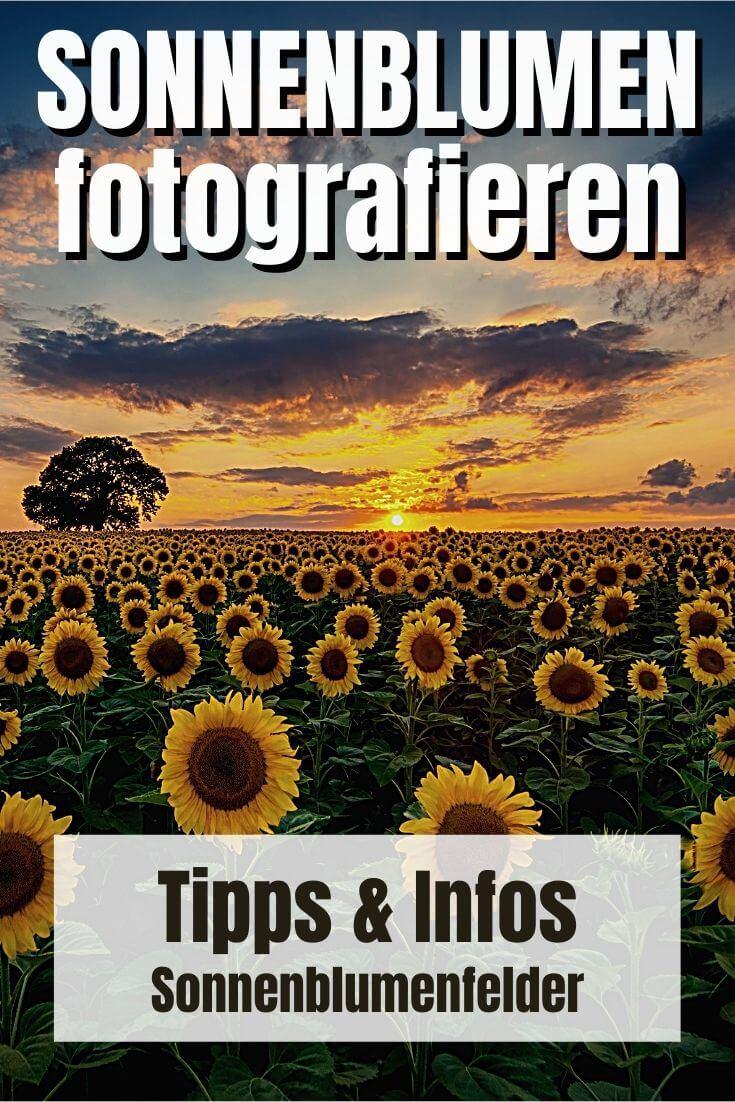 Sonnenblumen fotografieren | Pinterest Pin