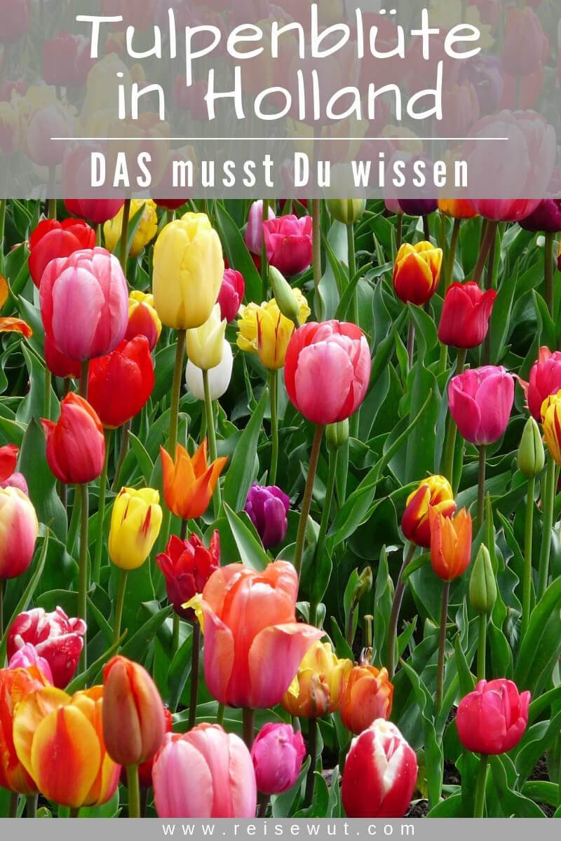 Pinterest Pin | Tulpenblüte in Holland
