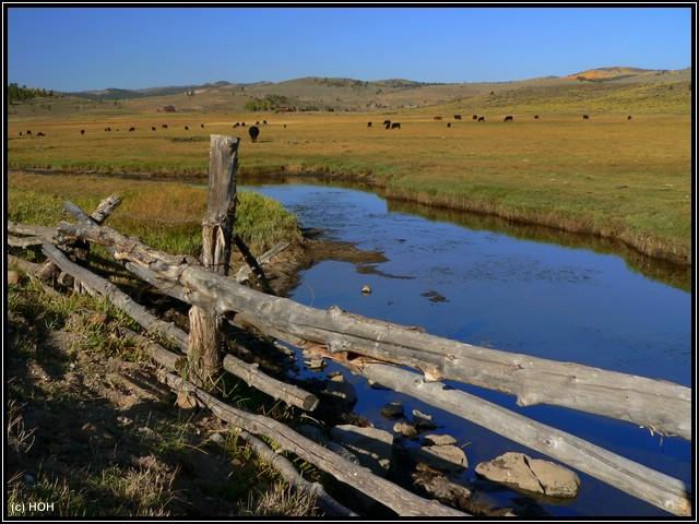 Rinderherde in der Nähe des Panguitch Lake