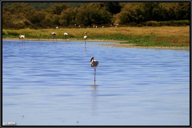 Einzelner Flamingo
