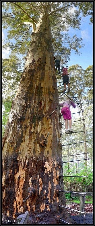 Gloucester Tree bei Pemberton