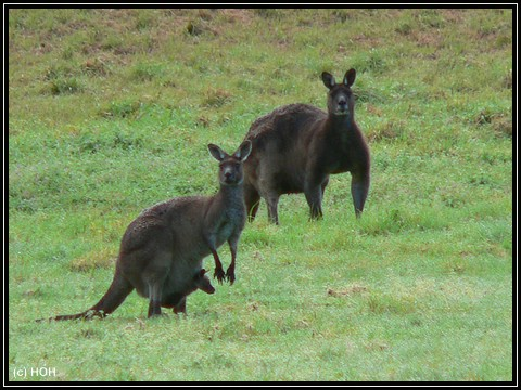 Kängurus bei Margaret River ... Links mit Jungtier im Beutel
