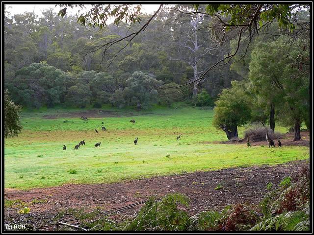 Kängurus bei Margaret River