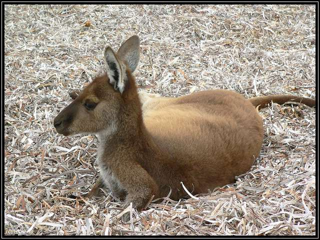 Kangaroo am Strand