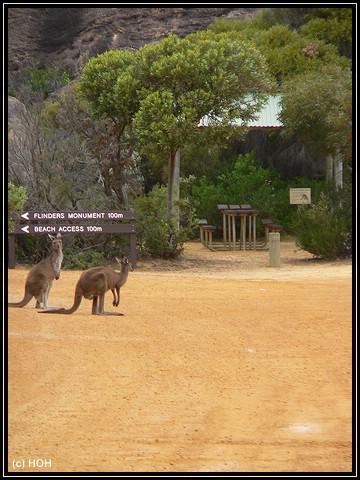 Kangurus wohin man sieht