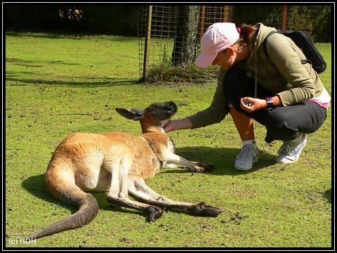 Kangaroo krauling ...