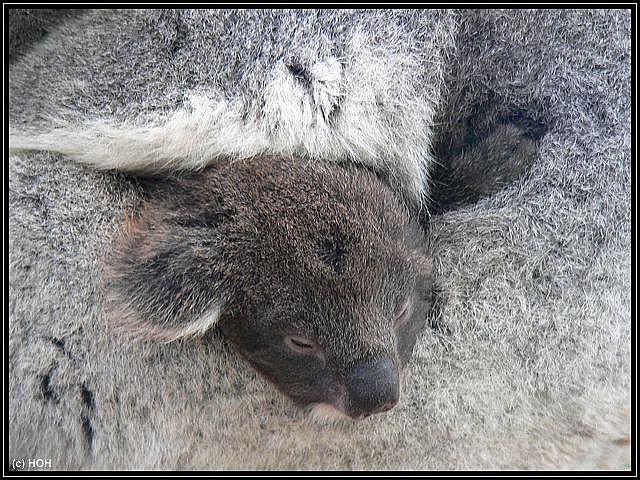 Koala Baby Nachwuchs im Caversham Wildlife Park