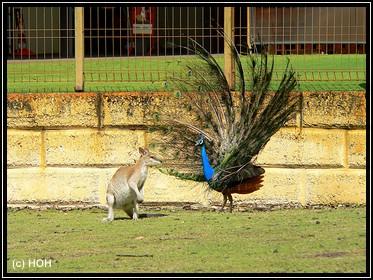 Pfau und Känguru