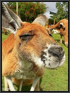 Neugieriges Känguru