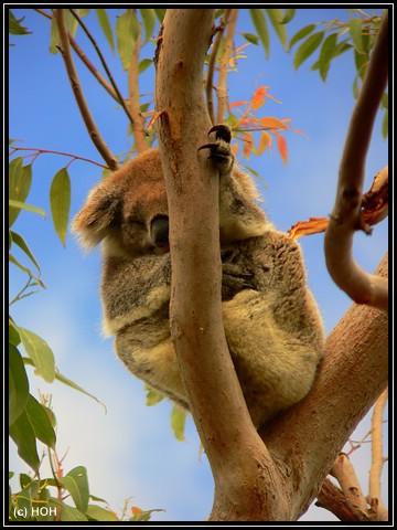 ... ein dösender Koala