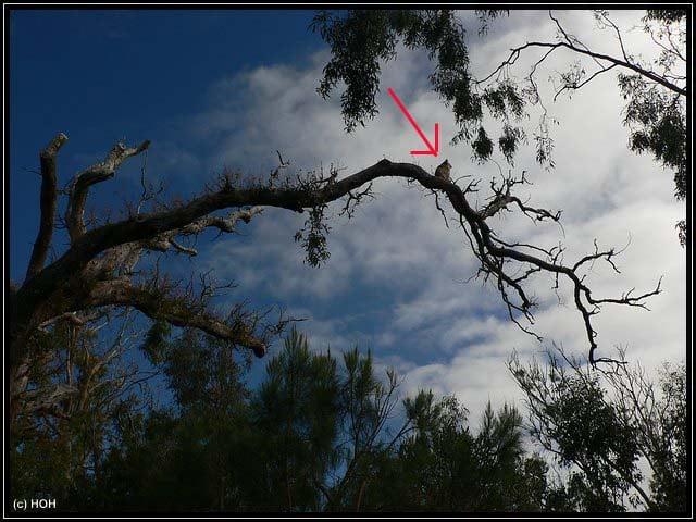 """Koala auf seinem """"Hochsitz"""""""