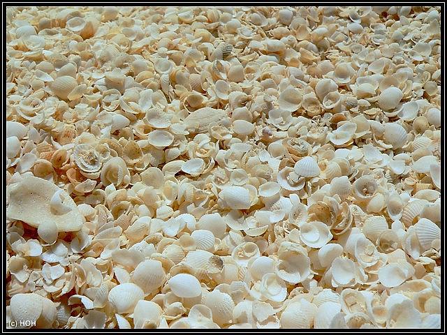 Muscheln am Shell Beach