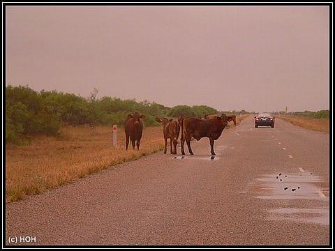 Eine Rinderherde blockiert den Highway