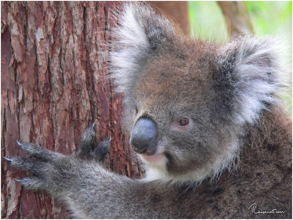 Wild lebender Koala im Yanshep National Park nördlich von Perth