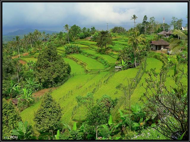 Reisterassen bei Tabanan