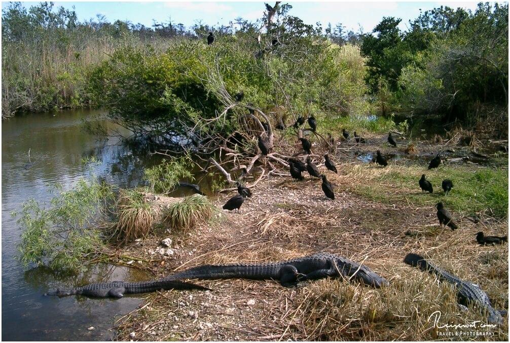"""Ein Highlight im Florida Urlaub. Am Ende des Boardwalks vom Anhinga Trail erwartet einen diese """"Alligator-Sammelstelle"""""""