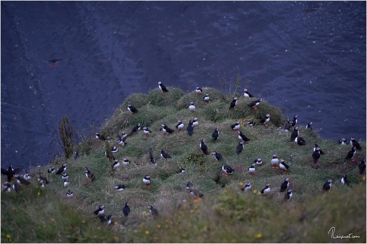 Während Ende August im Norden und Osten keine mehr waren, ist bei Dyrholaey noch eine große Kolonie gewesen