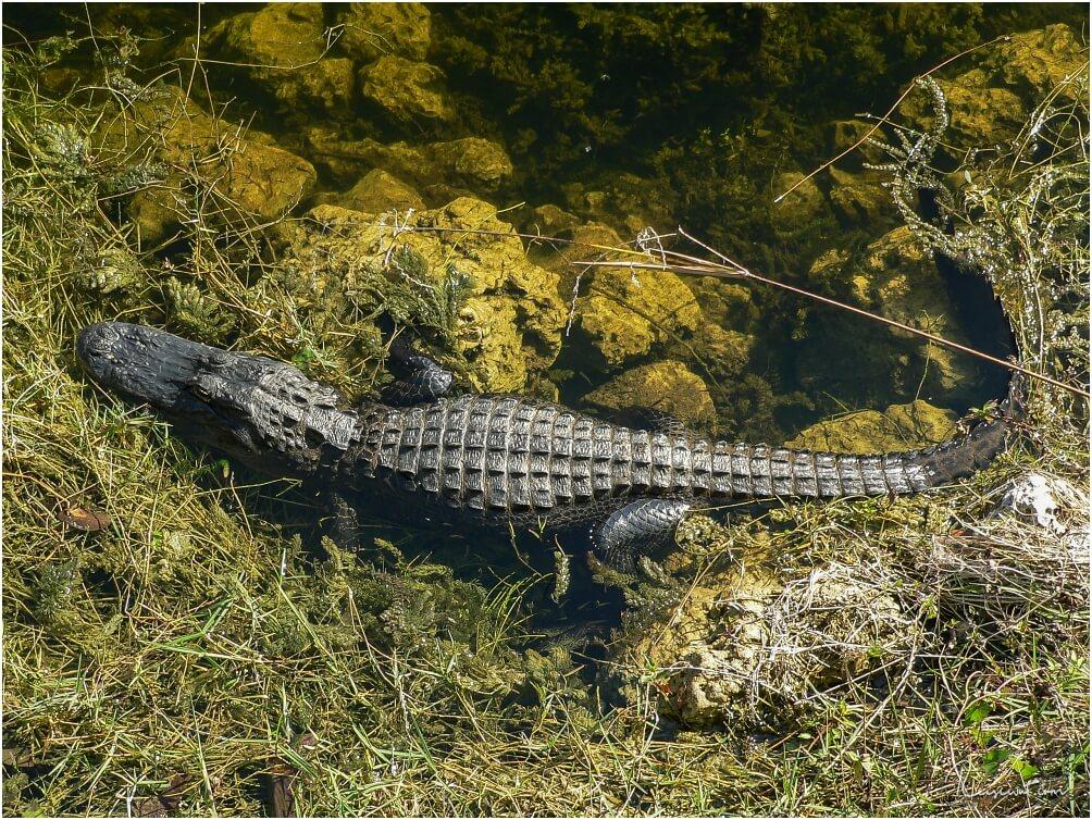 Alligator am Straßenrand