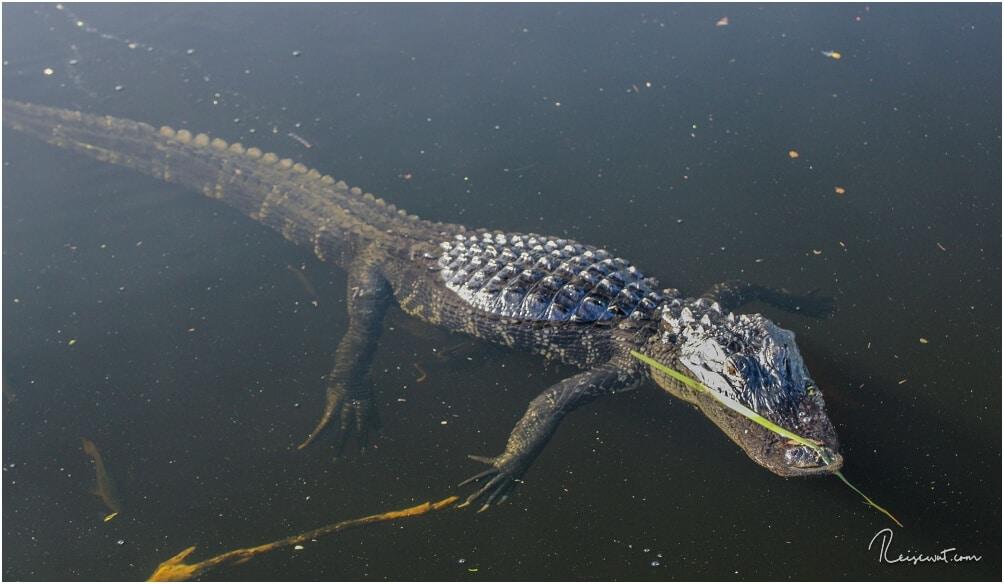 Ein Alligator dreht gemütlich seine Runden am Big Cypress Visitor Center