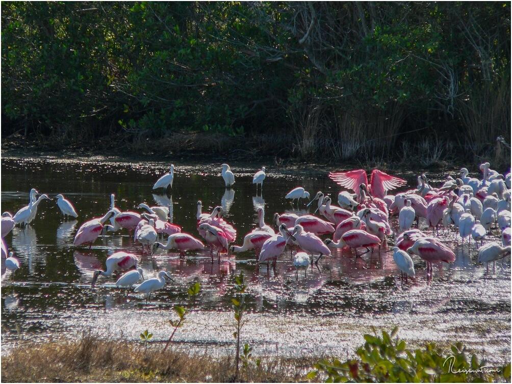 Rosa Löffler sieht man mit Glück öfters in den Everglades