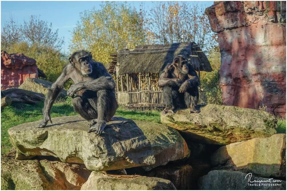 Die Schimpansen in der Zoom-Erlebniswelt sind immer für ein paar coole Fotos zu haben