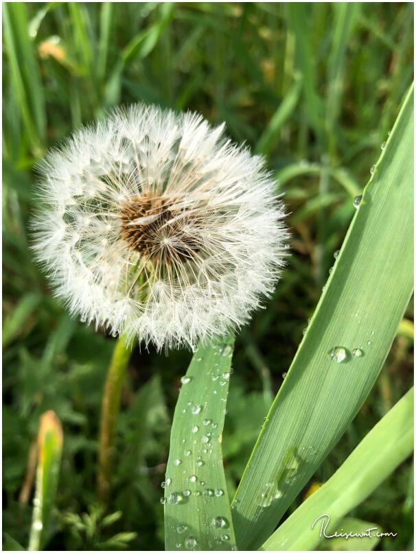 Pusteblume nach einem eher regnerischen Tag