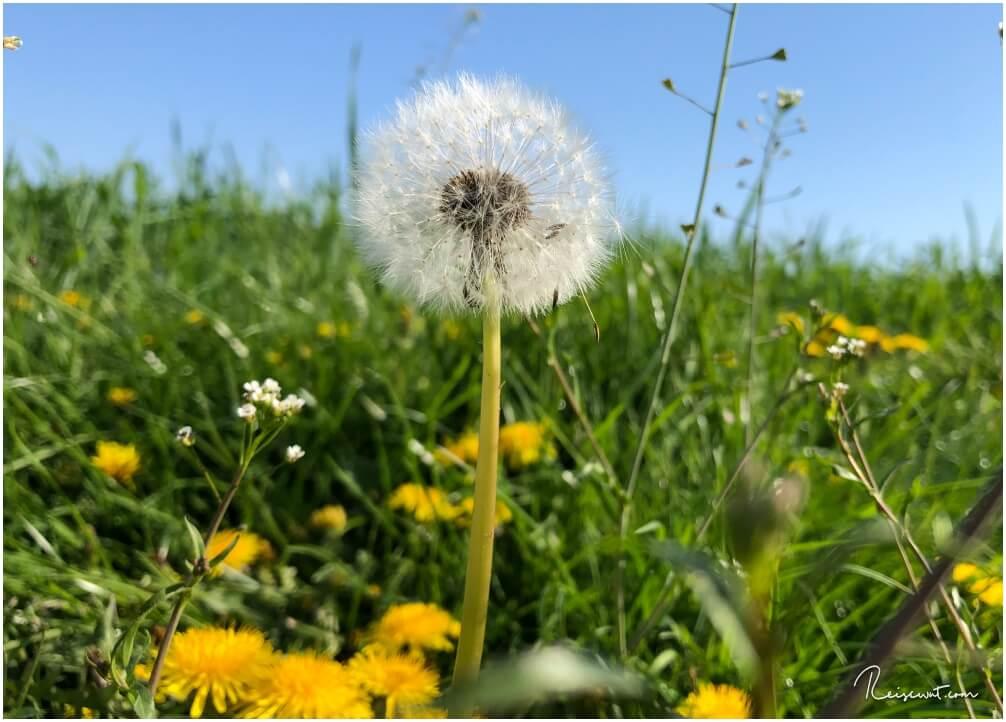 Tolles Fotomotiv am Rande einer Wiese, die Pusteblume