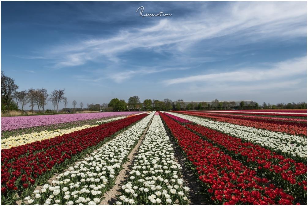 Die Tulpenblüte in Holland ist wirklich ein Farbspektakel das seinesgleichen sucht