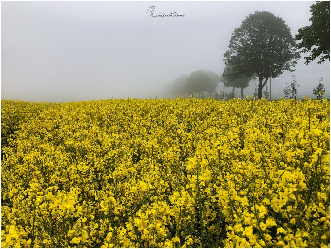Dominantes Gelb in ländlichen Gegenden im Frühling ... Rapsfelder wohin man sieht.