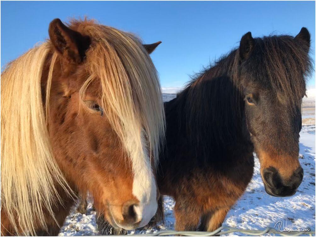 Lange Mähne, unschuldiger Blick ... fast immer ist das der typische Anblick der Isländer
