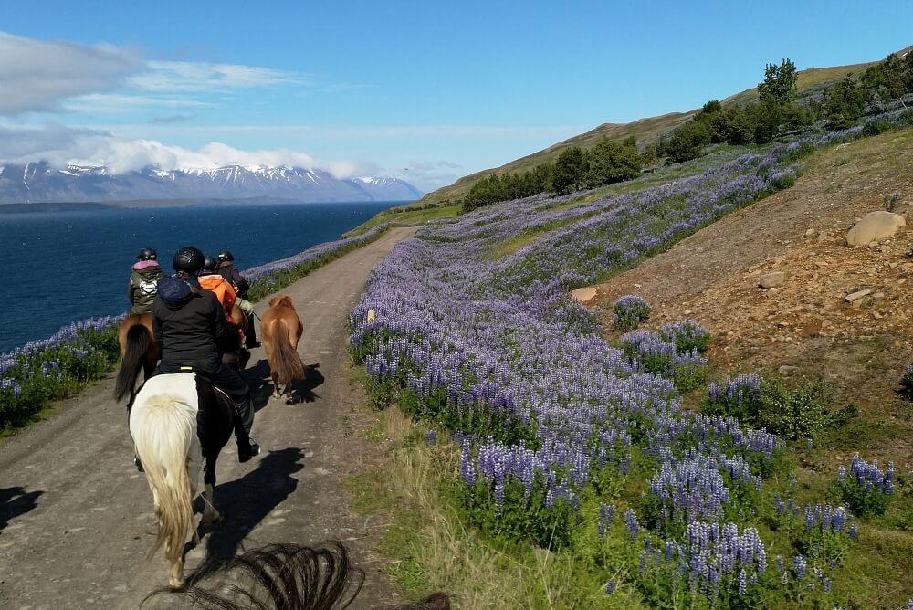 Im Sommer, wenn die Lupinen blühen, ist ein Ausritt in Island besonders schön