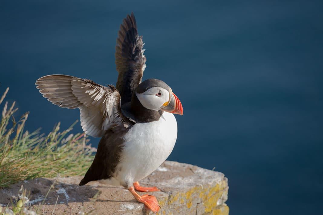 Die knuffigen Papageitaucher kannst Du auf Island zwischen Mitte Mai und Ende August in den Steilklippen sehen