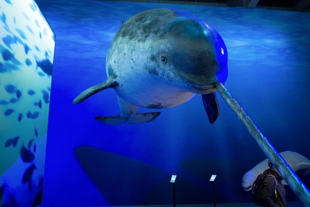 Wer keine Whale Watching Tour auf See mitmachen möchte, der kann sich die Ausstellung Whales of Iceland anschauen