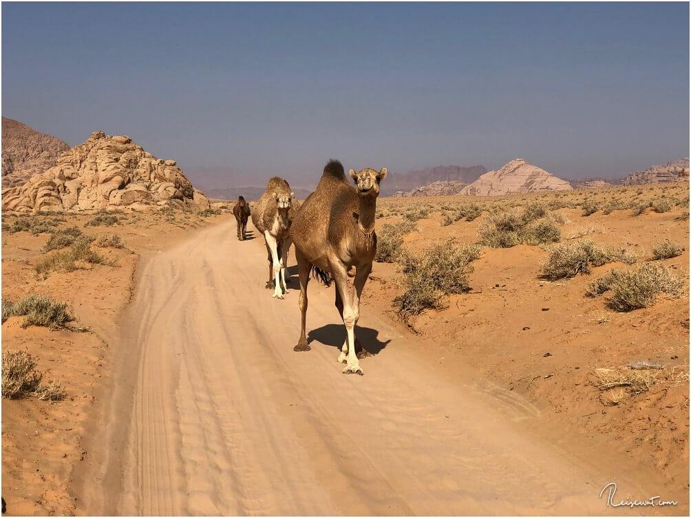 Wilde Kamele gibt es im Wadi Rum angeblich nicht, alle haben irgendeinen Besitzer.