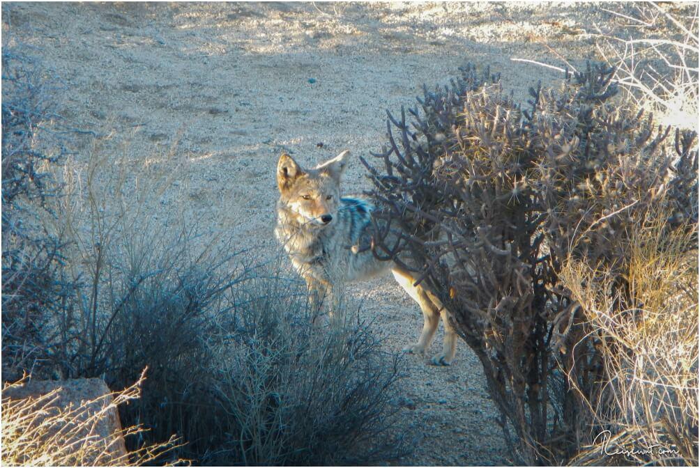 Ein stattlicher Coyote am Straßenrand im Joshua Tree National Park