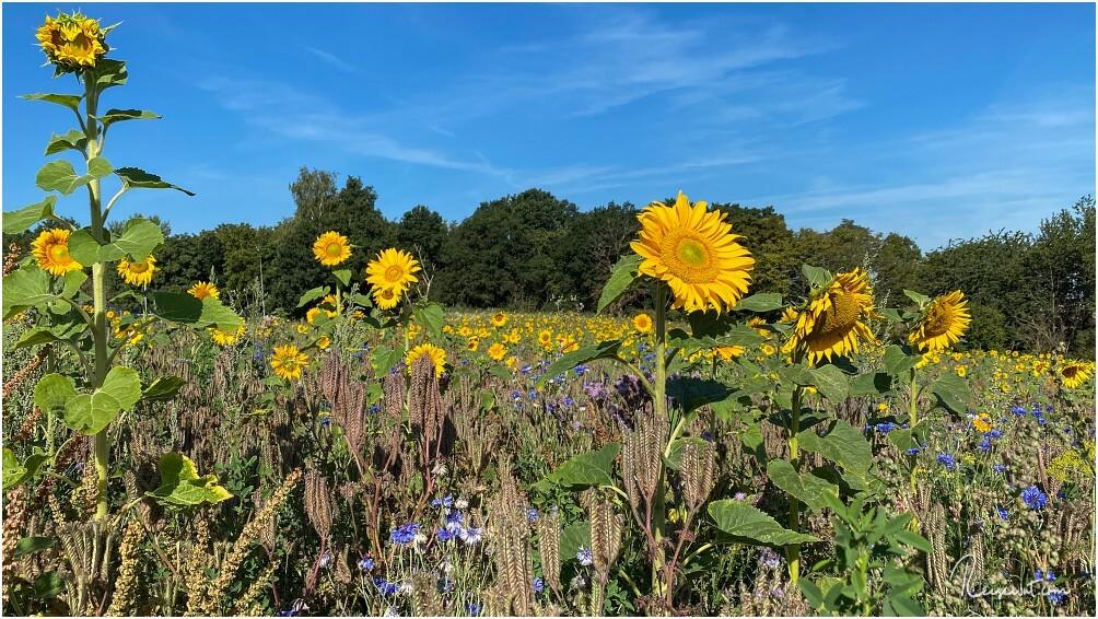 Etwas größeres Sonnenblumenfeld auf dem Weg zur Burg Eltz in Rheinland Pfalz
