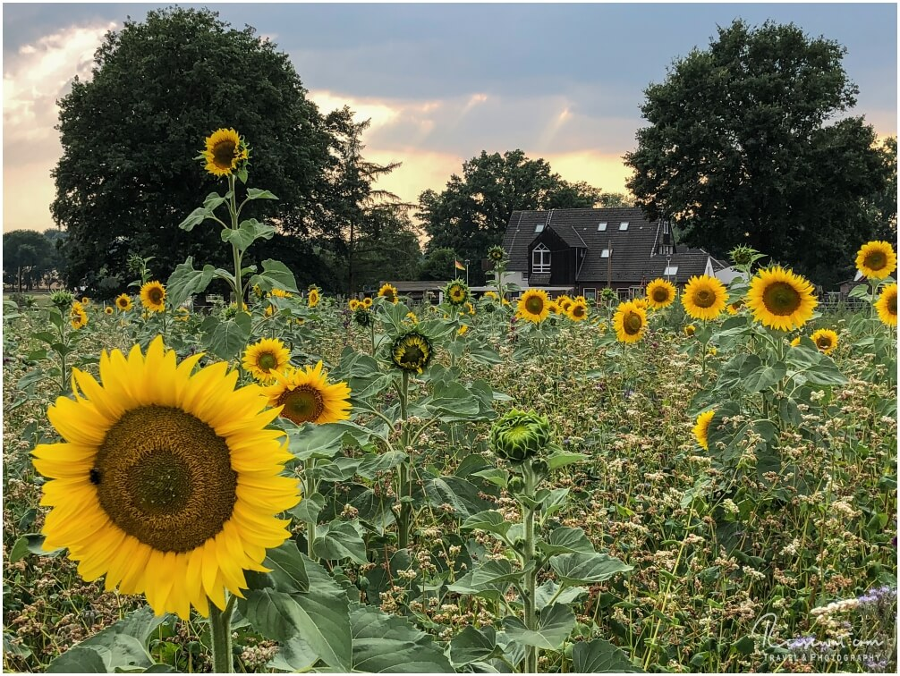 Ein tolles Sonnenblumenfeld direkt bei mir um die Ecke
