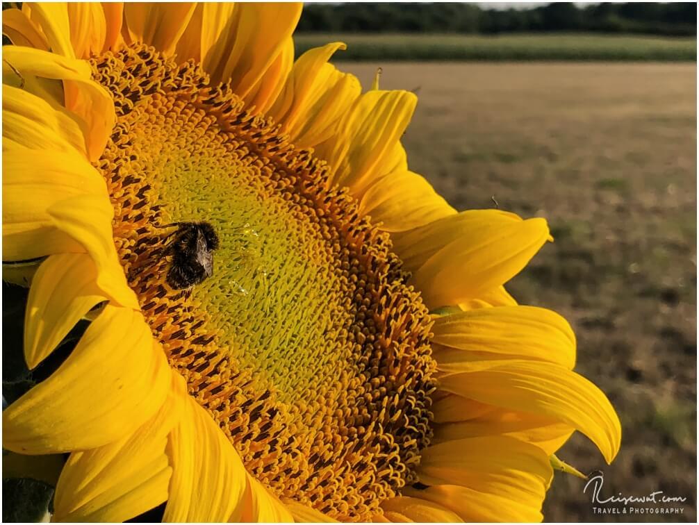 Bokeh bei einer Sonnenblume, aufgenommen mit dem iPhone