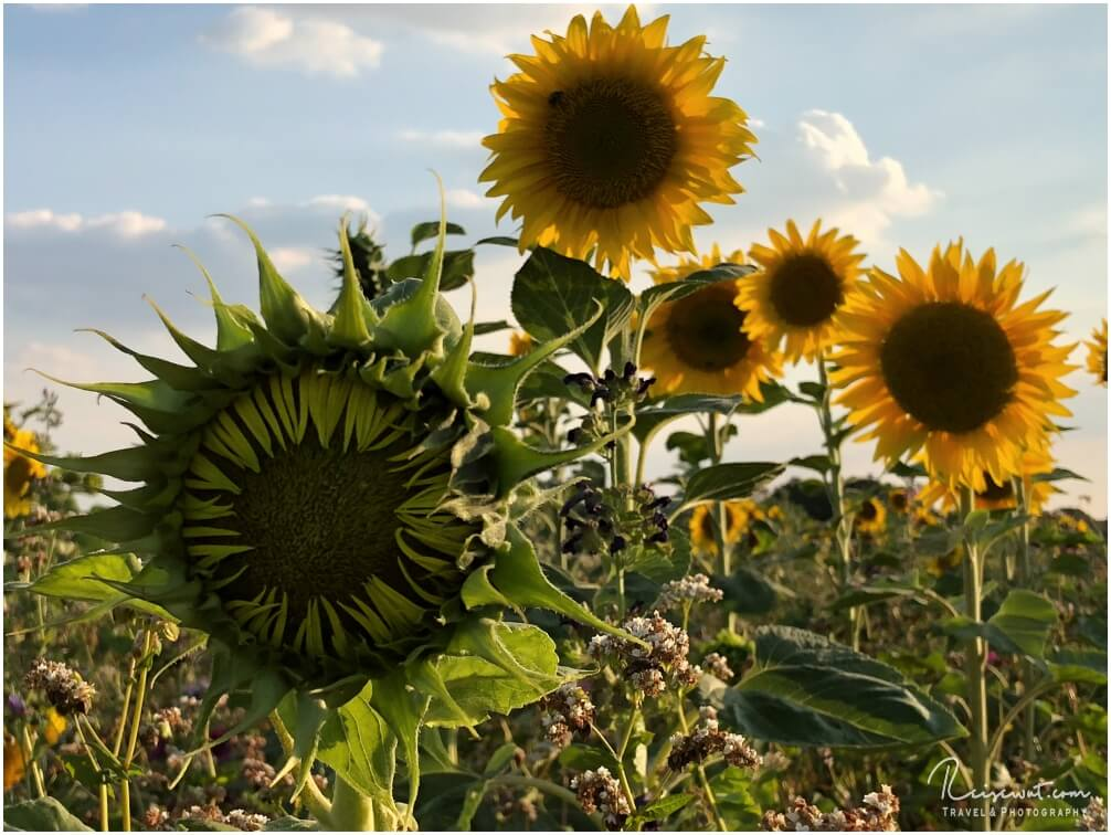 Noch geschlossene und bereits geöffnete Sonnenblumen