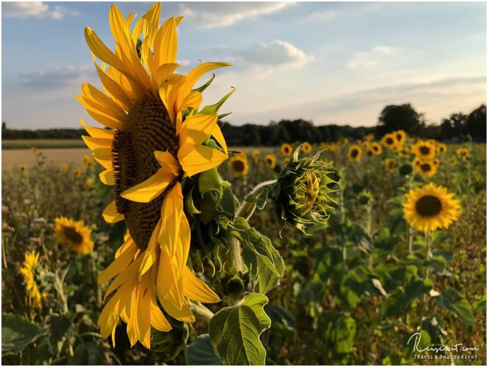 Sonnenblumenfelder findet man heutzutage leider nicht mehr sooo häufig