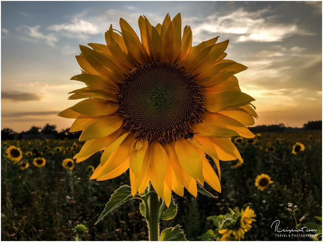 Es gibt kaum einen schöneren Zeitpunk, um Sonnenblumen abzulichten