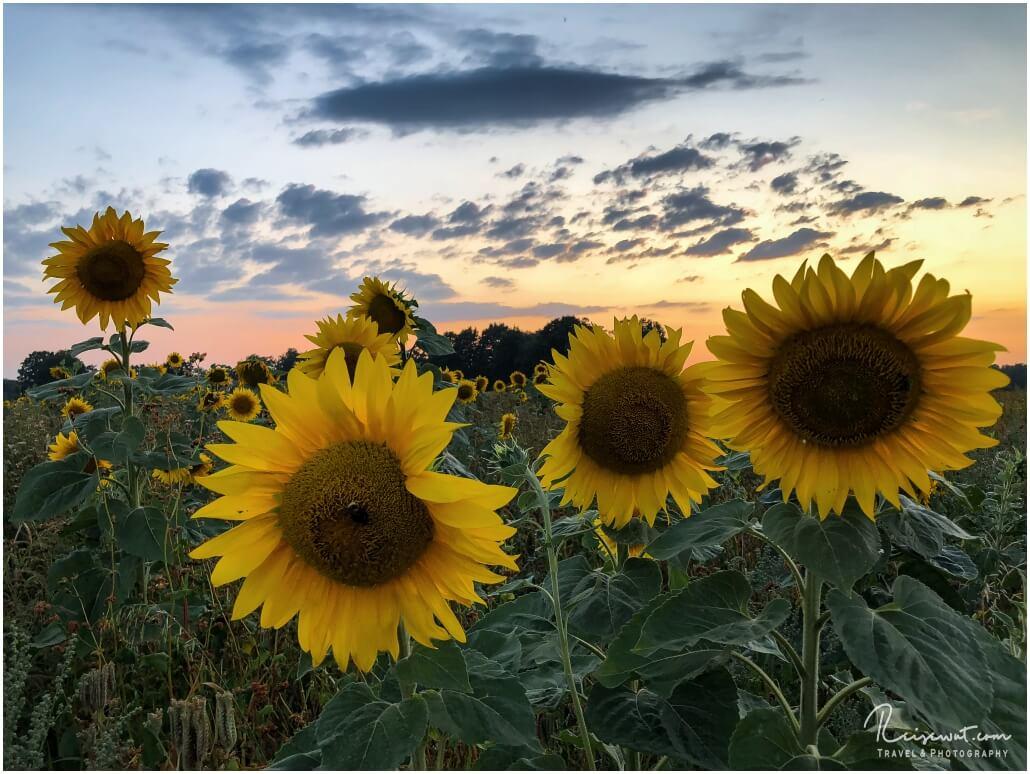 Abendstimmung am Sonnenblumenfeld ... schöner geht es kaum noch