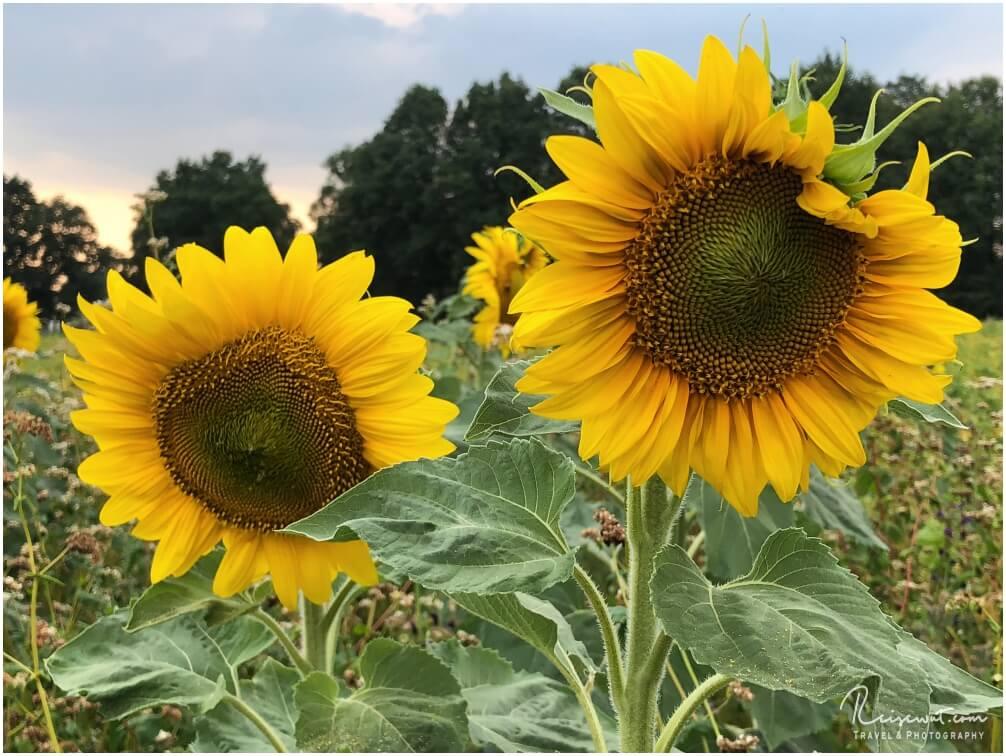 """Ein Sonnenblumen""""pärchen"""""""