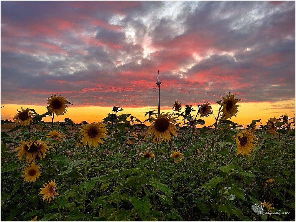 Ein Farbrausch der Sinne: Sonnenblumenfeld zum Sonnenuntergang
