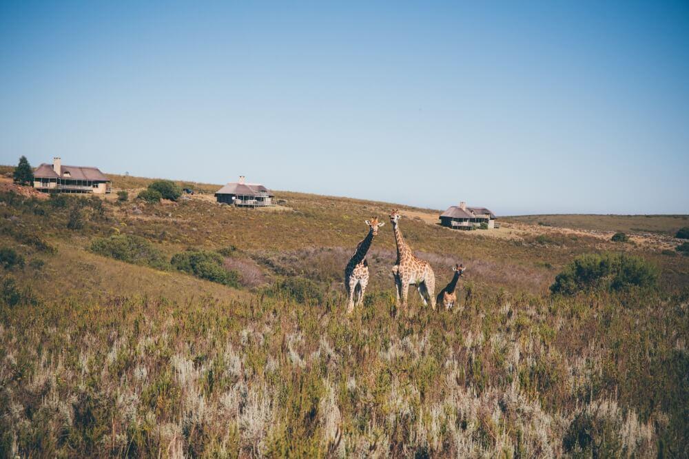 Wildes Südafrika: Giraffen direkt vor der Unterkunft im Gondwana Game Reserve