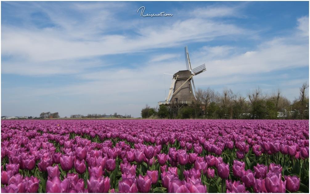 In Noord-Holland bieten sich tolle Felder mit Tulpen und Windmühlen an