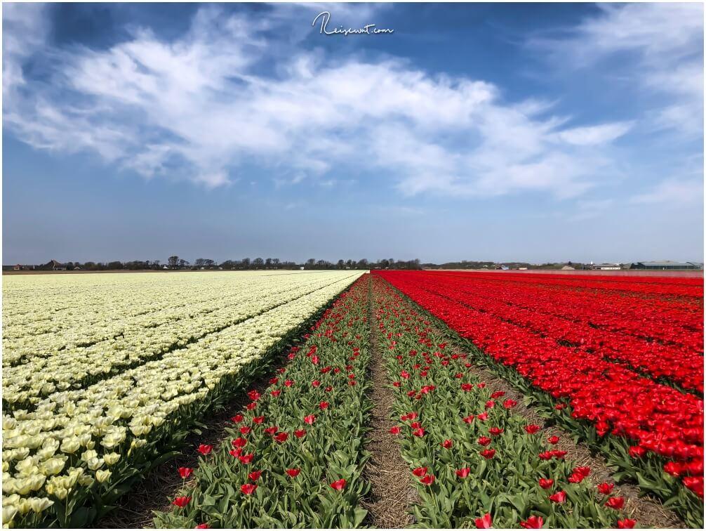 Riesige Tulpenfelder in der Nähe von Lisse bieten ein tolles Motiv für Frühlingsbilder